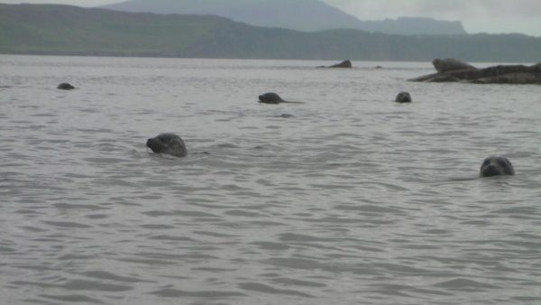 Seals at Raasay