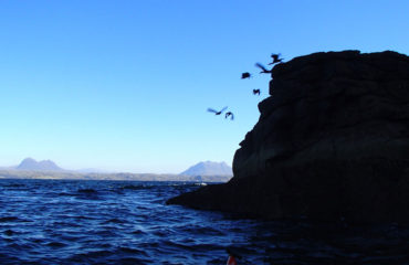 Shags flying off