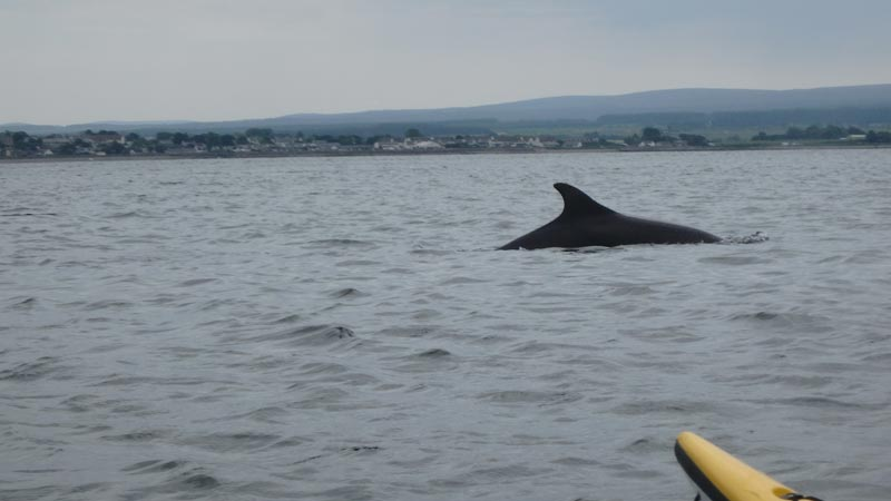 Dolphin Moray Firth